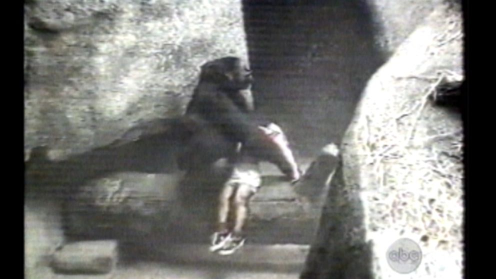 gorilla carries 3 year old boy to safety after he fell into