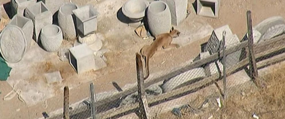 PHOTO: A mountain lion was captured after it was found inside an auto shop in Palmdale, Calif., Aug. 28, 2015.