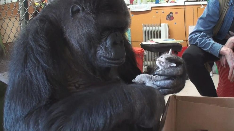 Koko the gorilla dies: 'She taught me so much,' trainer says