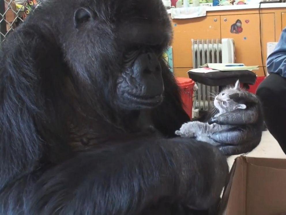 PHOTO: Koko the gorilla holds a kitten.