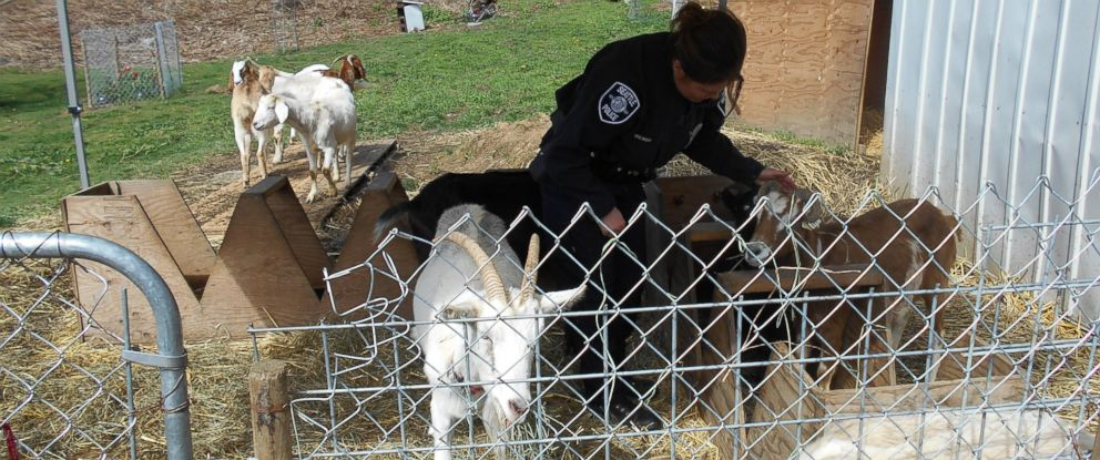 Ten goats escaped their pen before they were corralled by police in Seattle on March 26, 2015.