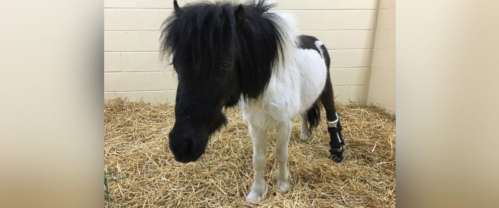 PHOTO: Shine the miniature horse was fitted with a prosthetic hoof in mid-April.