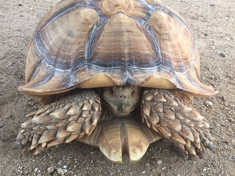 PHOTO: A tortoise fleeing the Sand Fire in Californias Santa Clarita area was rescued on July 23, 2016, according to the County of Los Angeles Department of Animal Care and Control.