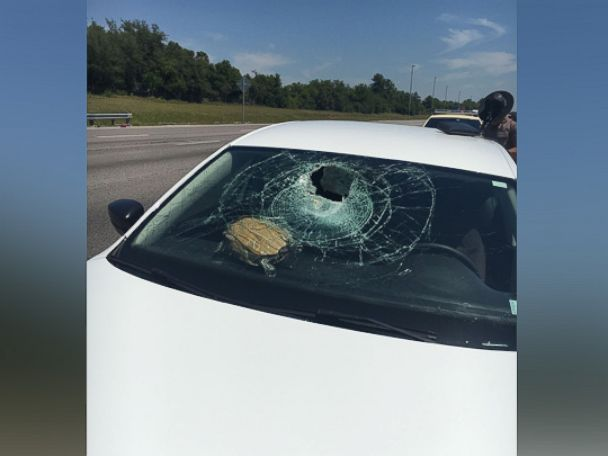 PHOTO: Turtle crashes into Fla. windshield.