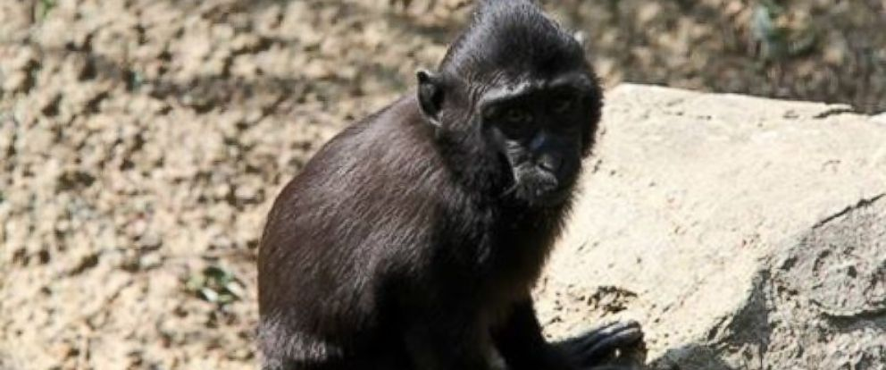 PHOTO: Zimm, a 3-year-old Sulaweis Macatue, was on the loose from the Memphis Zoo in Tennessee, July 9, 2015.