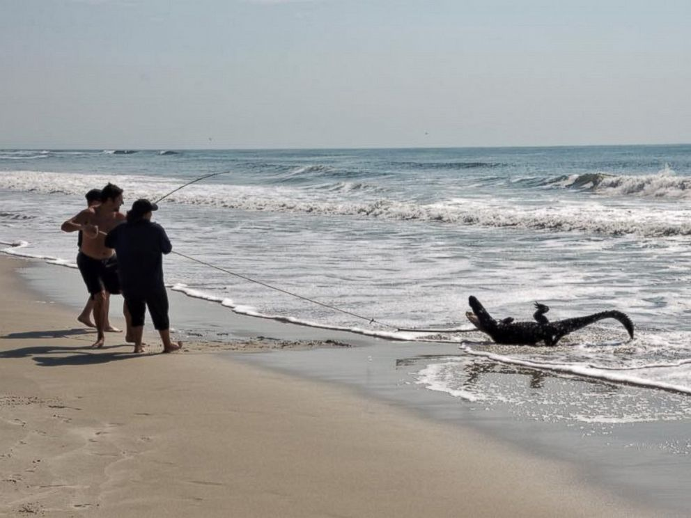 Photo A Seven Foot Alligator Was Caught On The Beach July 2 2017