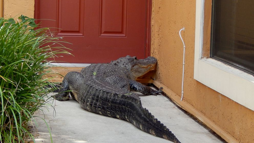 Miami Man And Dog Find Giant Alligator On Front Doorstep Abc News