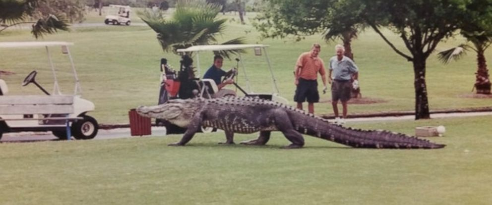 PHOTO: Golfers snapped a photo of an alligator roaming the Myakka Pines Golf Course