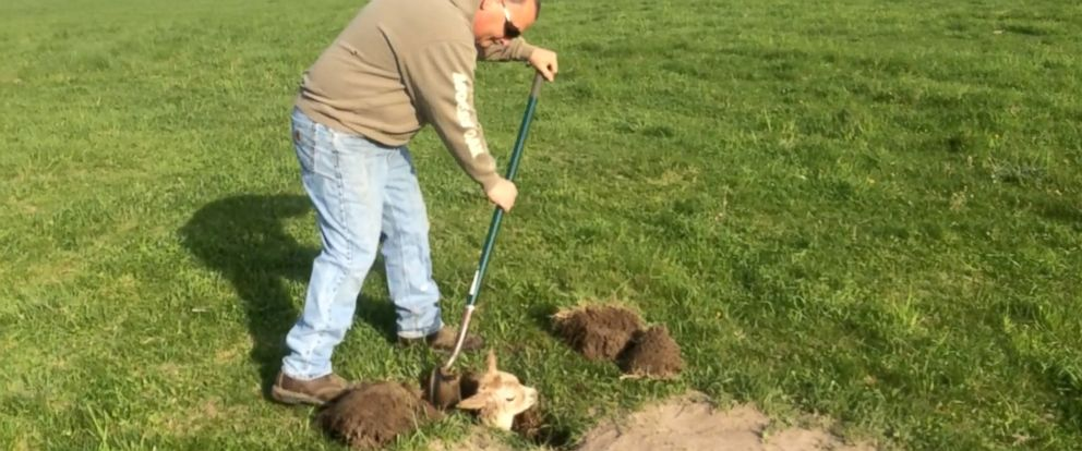 PHOTO: Farmer John Govin, 52, rescued a lost baby alpaca stuck inside a hole on the pasture of his farm in Menomonie, Wisconsin, on May 8, 2016.