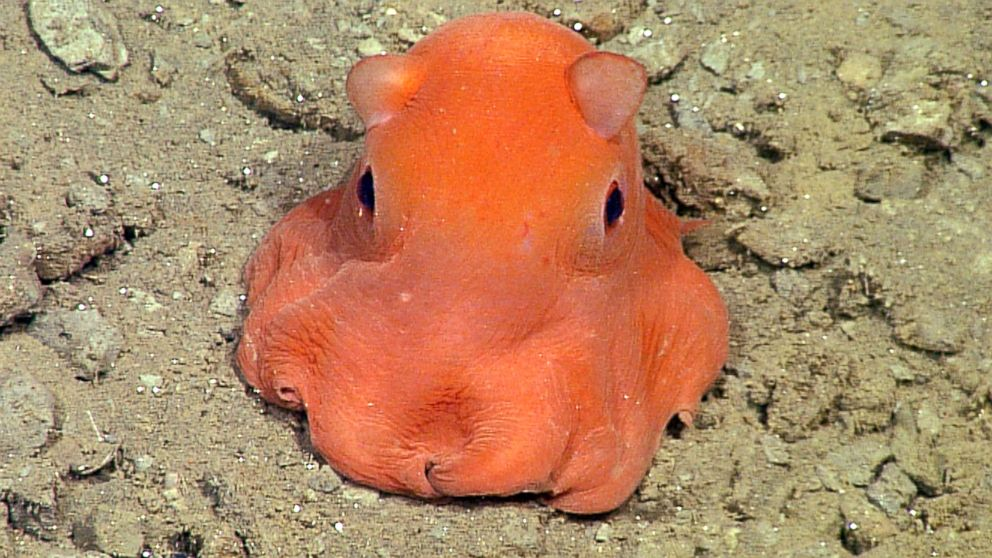 This flapjack octopus in the genus Opisthoteuthis was photographed 330 meters (about 1,080 feet) below the surface in Monterey Bay.