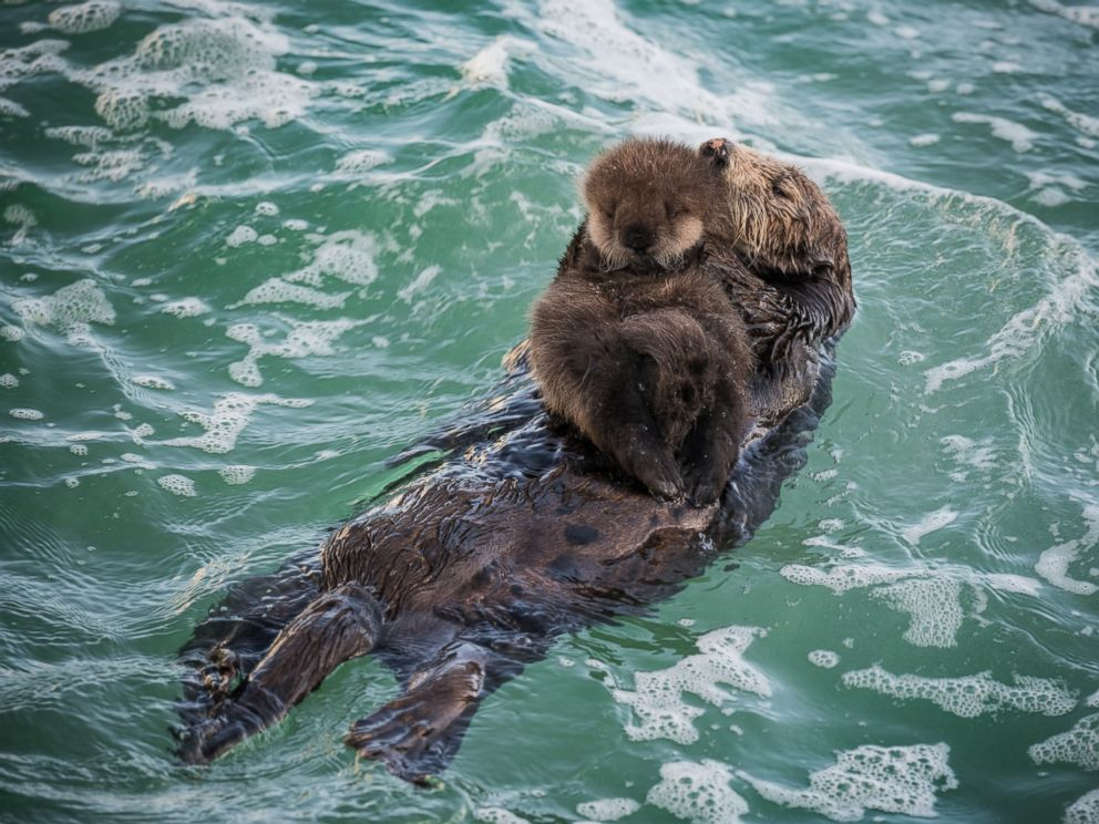 Newborn sea otter pup bonds with mother in adorable photos for Pool show monterey