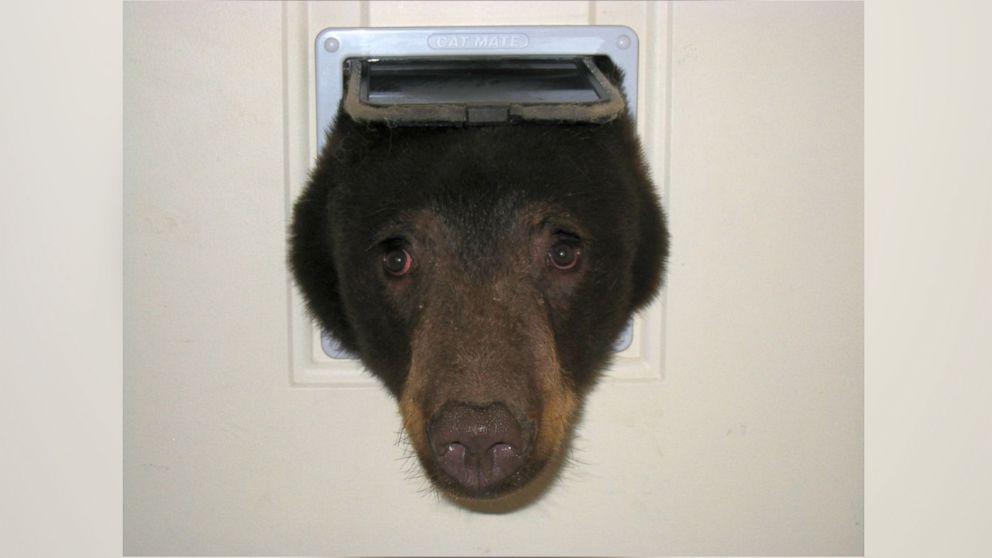 Bear Pokes Its Head Through Cat Door In Latest Break In At Idaho