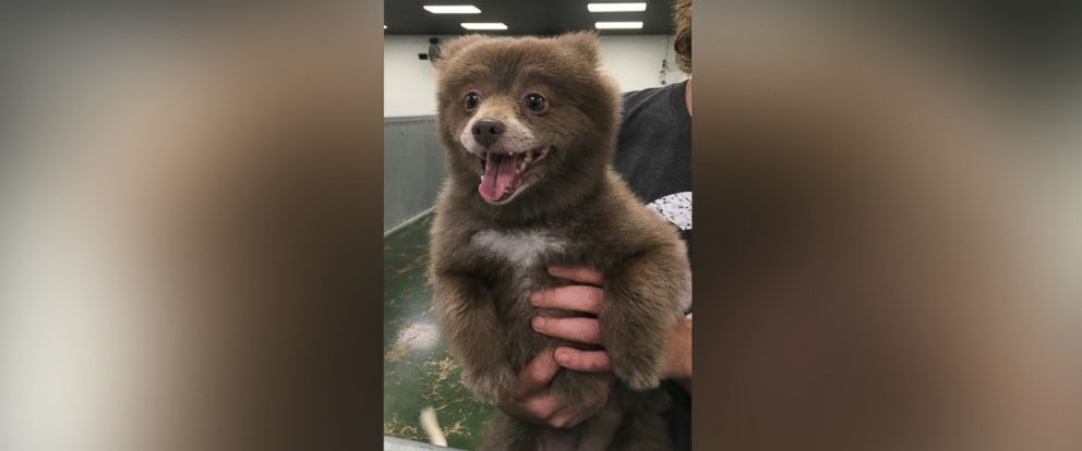 "PHOTO: Bounce, a Pomerian-mix dog, has taken the Internet by storm after a photo of her was posted to Reddit with the caption, ""Somebody brought this bear into doggie day care"" on Dec. 29, 2015."
