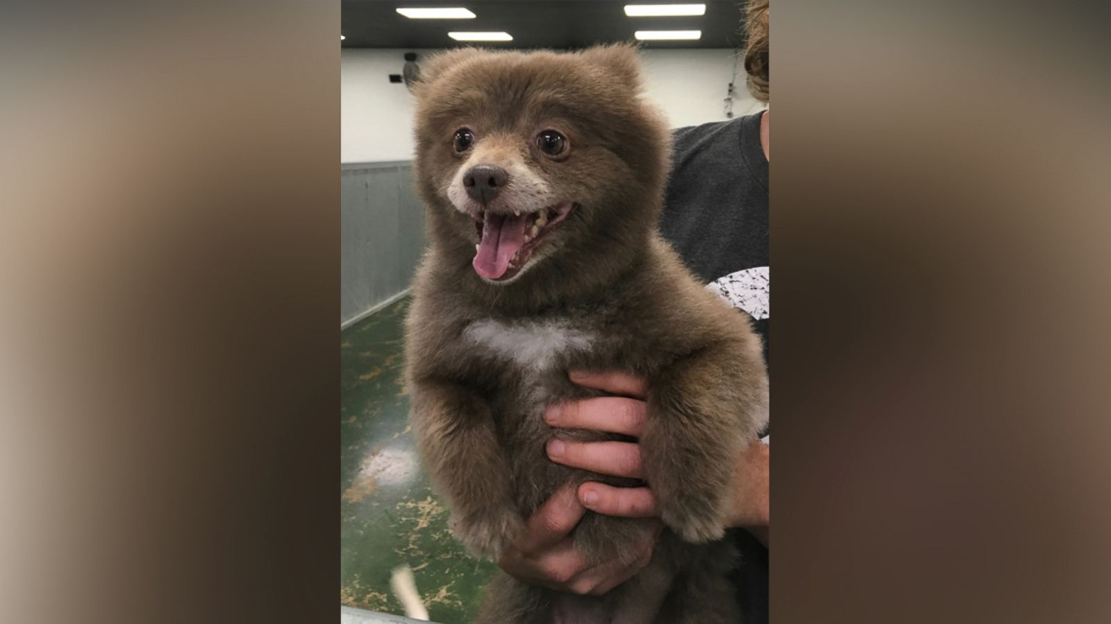 The Mystery Of This Adorable Bear Dog Has Been Solved Abc News