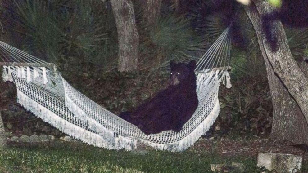 florida black bear takes break rests in hammock   abc news  rh   abcnews go