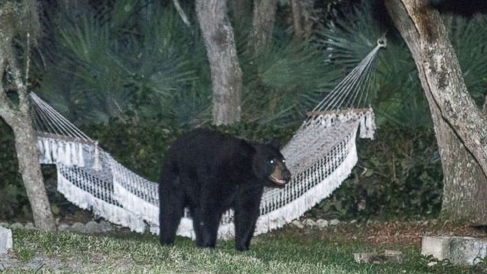 After making its way through a Daytona Beach neighborhood Thursday, May 29, 2014, a black bear took a moment to rest on a hammock before ambling back into the woods.