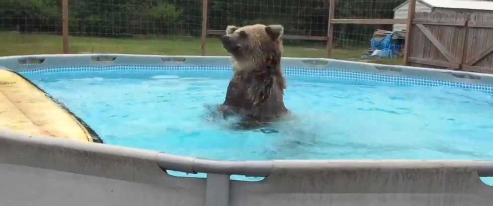 Watch grizzly bear dives into pool abc news for Bears in swimming pool new jersey