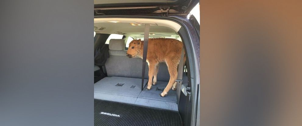PHOTO: A baby bison that was photographed in an SUV last week has been euthanized by the National Park Service after its herd failed to accept it back.