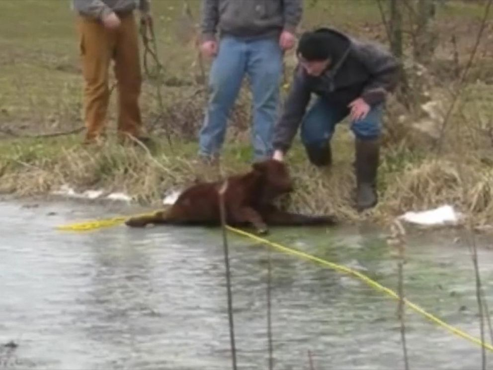 PHOTO: Capt. Chris Roberts of Bartholomew County Sheriffs Office in Indiana helped farmer Kevin Mahoney rescue a baby calf that slipped into a frozen pond and got stranded on the ice.