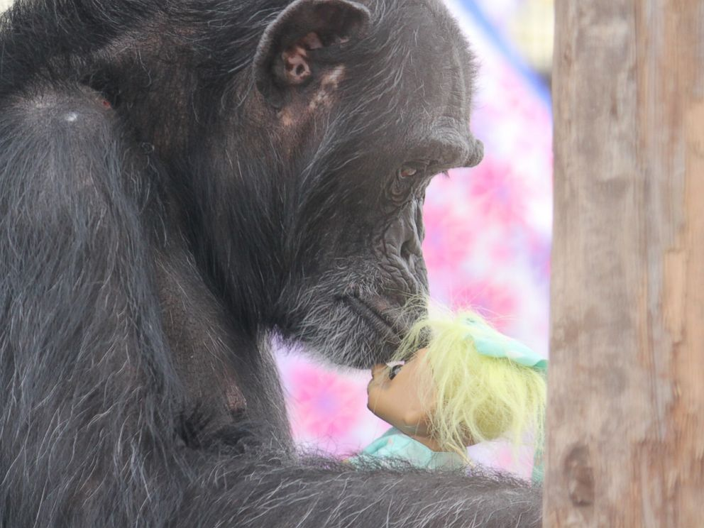 PHOTO: Foxie the chimpanzee, of the Chimpanzee Sanctuary Northwest in in Cle Elum, Washington, finds comfort in troll dolls to deal with the trauma of being a research animal for years.