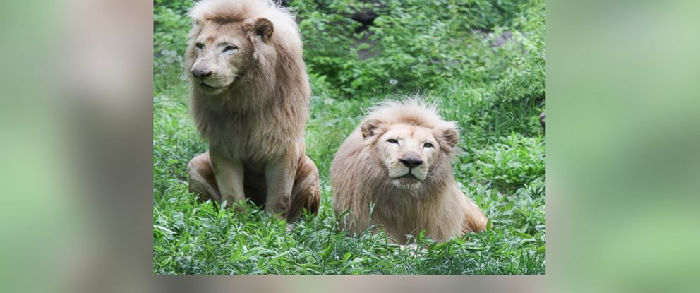 PHOTO: Future, left, and his brother Sunshine, two African white lions, came to the Cincinnati Zoo when they were three months old.
