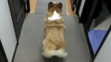 PHOTO: This video of a corgi twerking was posted to Youtube by man taketyan. www.youtube.com/watch?feature=player_embedded&v=CRxiV3h_VPI