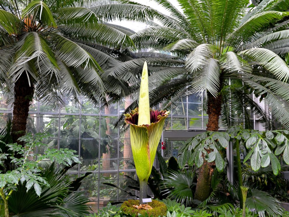 PHOTO: A corpse flower started to bloom, Aug. 2, 2016, in Washington.