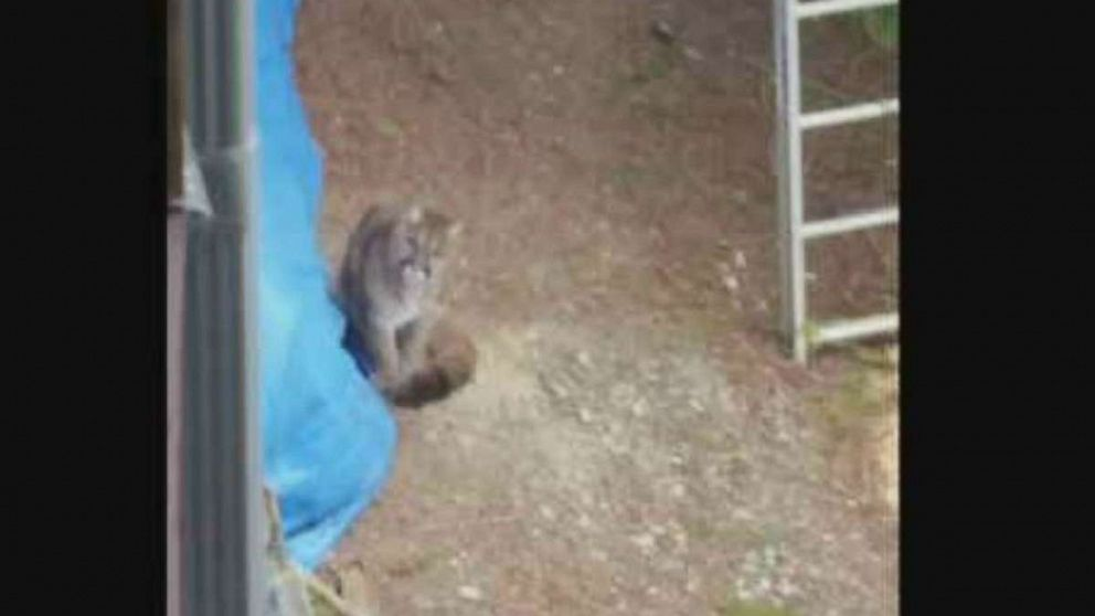 A neighbor snapped a photo of one of the two cougars that were euthanized in Lake Cowichan, Vancouver Island, after an attack.