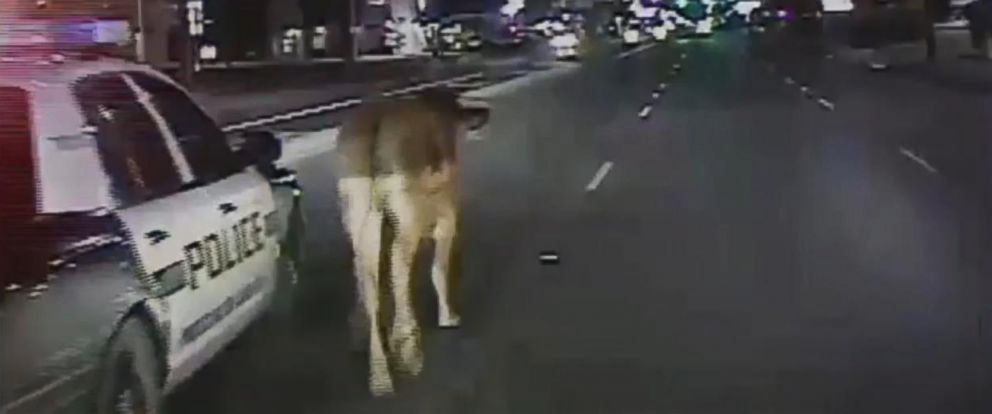 PHOTO:A cow was seen roaming through a busy San Antonio intersection Tuesday morning and it was caught on a police officers dashcam.