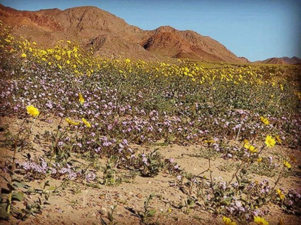 PHOTO: Death Valley NPS posted this photo to Instagram with the caption, Happy superbloom Sunday!