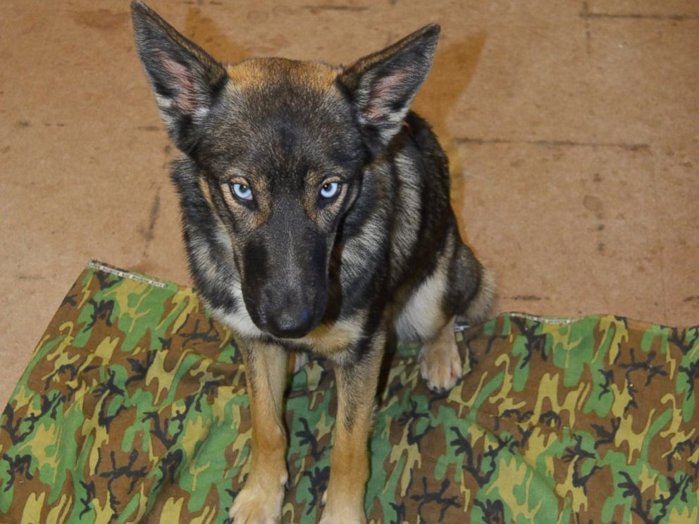 PHOTO: Luna, a 1-year-old German Shepard, had been missing for five weeks after falling off a fishing boat in the Pacific Ocean, when U.S. Navy staff found her at the Naval Auxiliary Landing Field San Clemente Island in California, March 15, 2016.