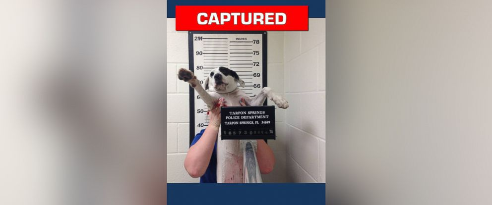 PHOTO: A pup named Willow had her mugshot taken after she was turned into the Tarpon Springs Police Department in Florida without tags.
