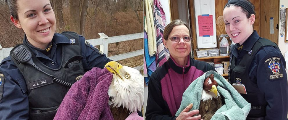 PHOTO: Suzanne Shoemaker of the Owl Moon Raptor Center and Officer Jennifer Gill are seen with the eagle, whose injuries prevented it from flying. The injured eagle was found in the woods in Maryland.