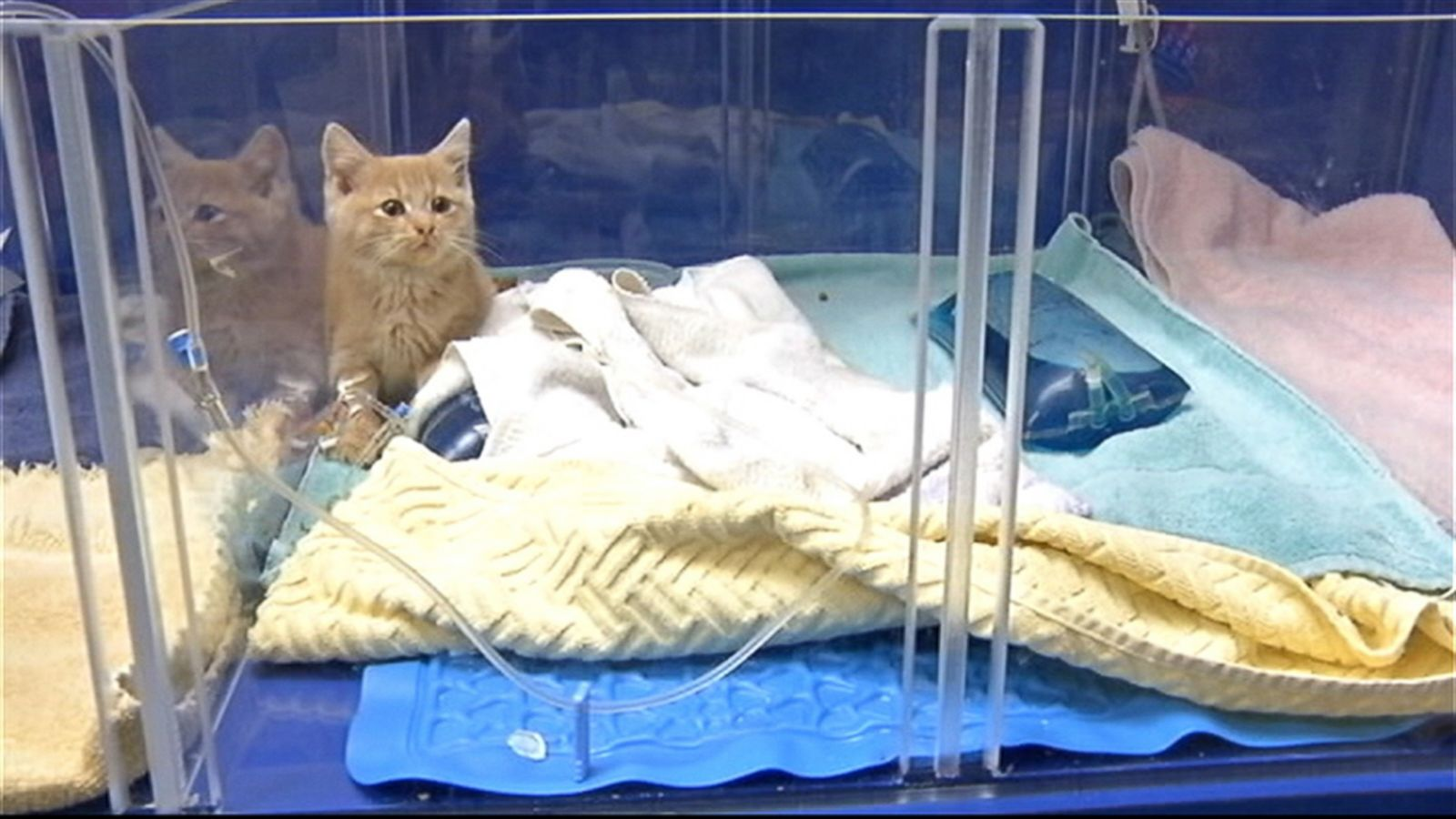 Meet Elsa, the Kitten Who Survived Being Frozen - ABC News