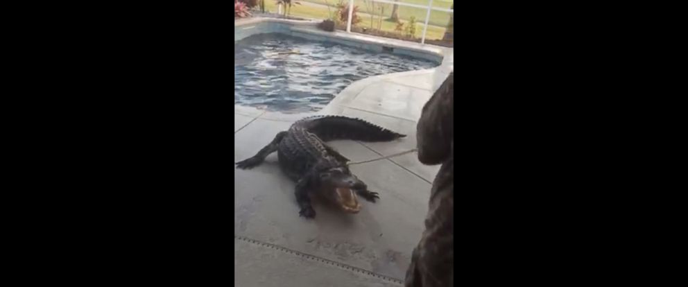PHOTO: The 9-foot alligator began thrashing around in the swimming pool once trapper Scot Barbon was able to lasso him.
