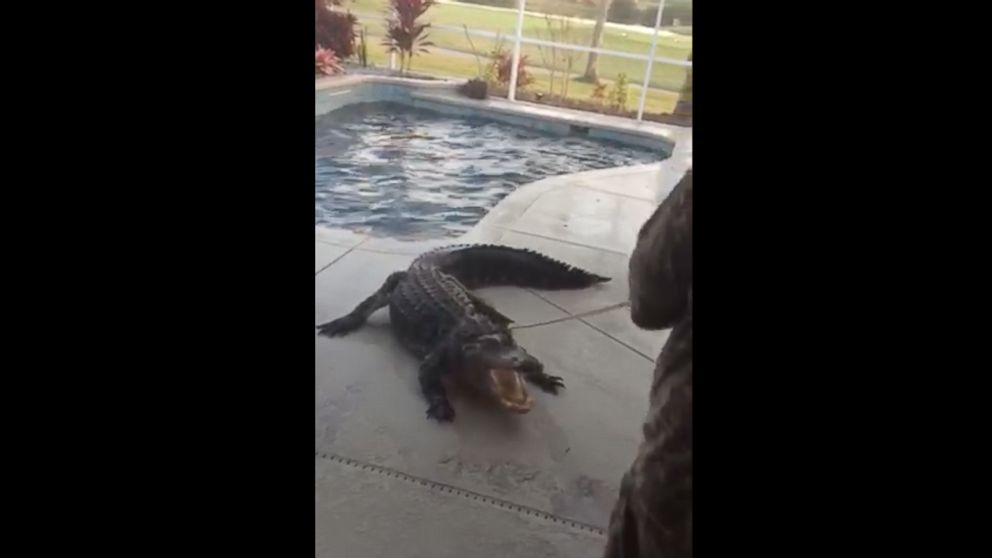 Florida Man Finds 9-Foot Alligator in Backyard Swimming Pool