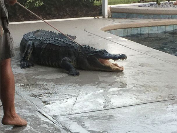 PHOTO: Alligator trapper Scot Barbon had to lasso the 9-foot alligator out of the Lear familys pool, March 1, 2015.