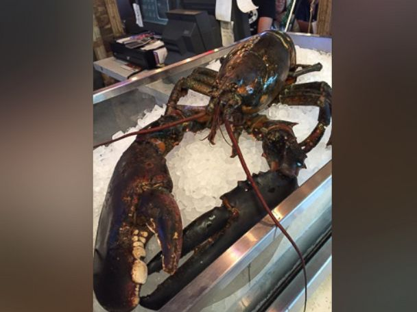 A 15-pound lobster, estimated by a marine scientist to be between 60 and 80 years old, narrowly escaped becoming someones dinner at a restaurant in Sunrise, Florida, after a group of locals said they bought the lobster and shipped it off to Maine.