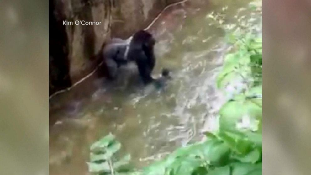 741afc515562 Cincinnati Zoo's Gorilla Enclosure Did Not Comply With Federal ...