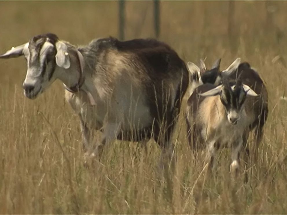 PHOTO: Animals including goats, sheep and llamas have taken over some of the landscaping duties at OHare International Airport in Chicago.