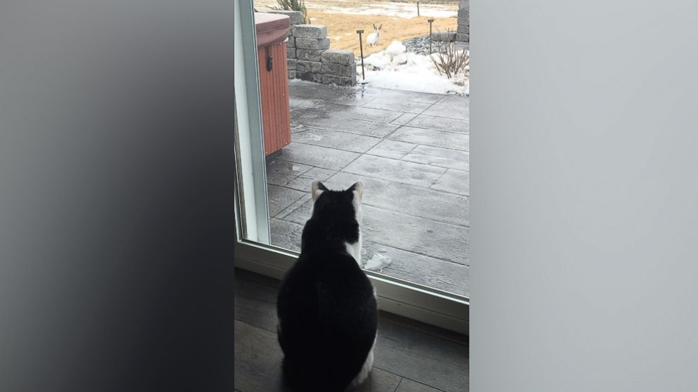 Kayla Straabe's cat stares at a jackrabbit in Straabe's yard.