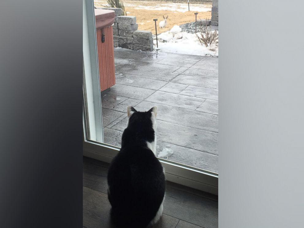 PHOTO: Kayla Straabes cat stares at a jackrabbit in Straabes yard.