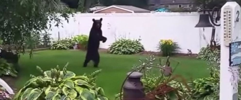 PHOTO: A bear is seen walking upright on his two hind legs in this still from a video taken from a home in Oak Ridge, N.J., July 17, 2015.
