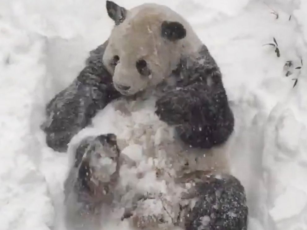PHOTO:The Smithsonian National Zoo posted this image of Tian Tian playing in the snow, Jan. 23,2016, in Washington.
