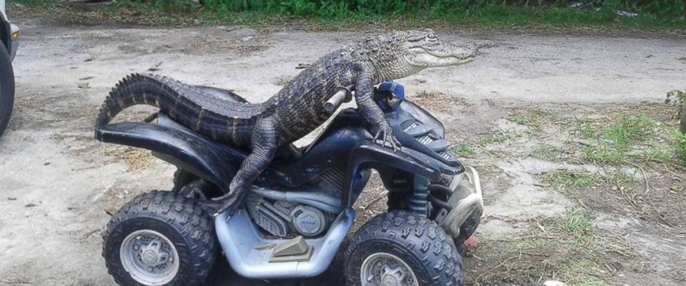 "PHOTO:Mary Thorn of Lakeland, Florida, says her pet alligator Rambo, pictured here, is ""trained"" and ""not like normal gators."""