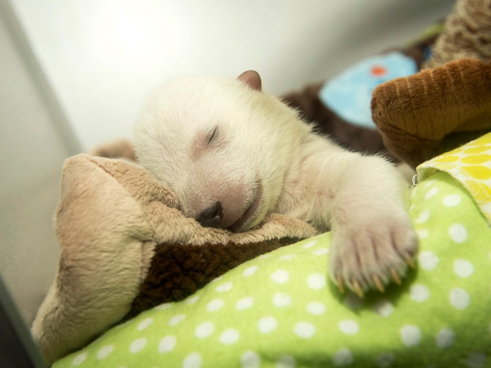 PHOTO: At five weeks old, a polar bear cub at the Columbus Zoo and Aquarium in Ohio is seen sleeping and dreaming.