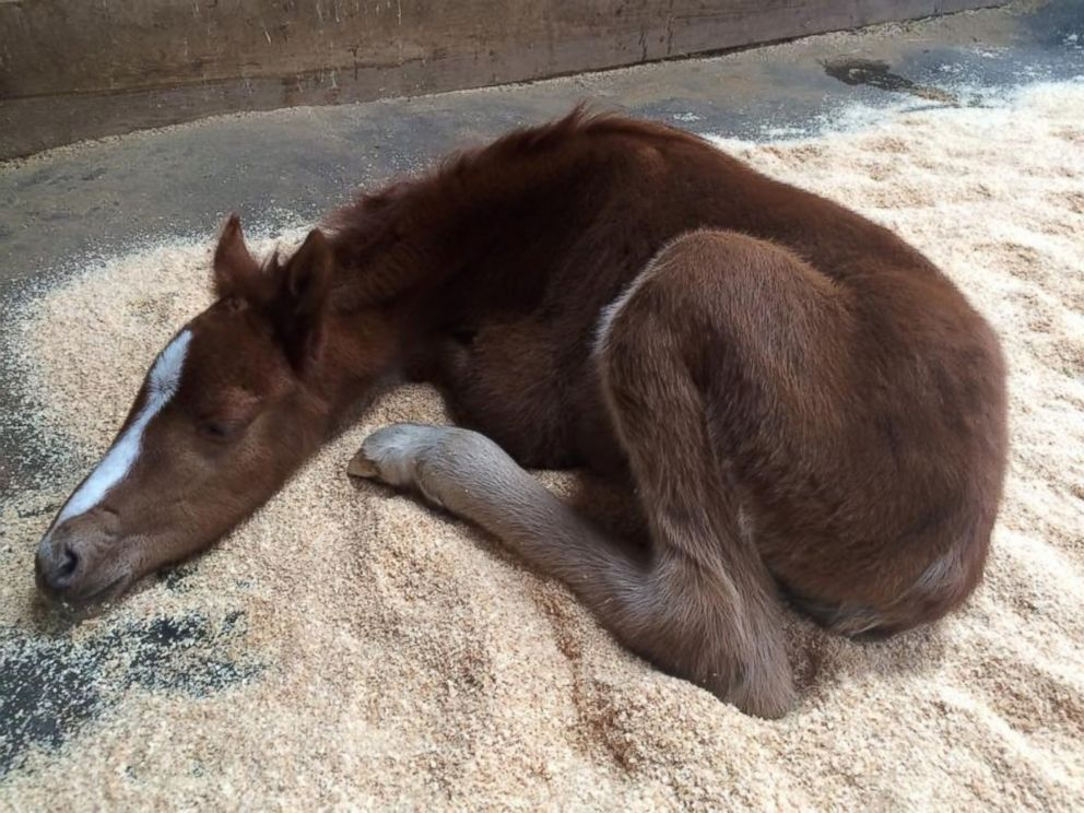 PHOTO: A baby colt, who has been nicknamed Valentine, was rescued on Feb. 14, 2016 from a ravine in Fremont, California.