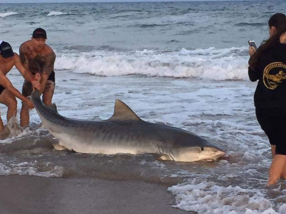 Researchers catch an 11 foot 7 inch tiger shark while for Shark fishing from shore