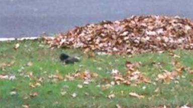 PHOTO: Tippy the Fainting Squirrel has the internet buzzing about what is causing the squirrel to fall over.