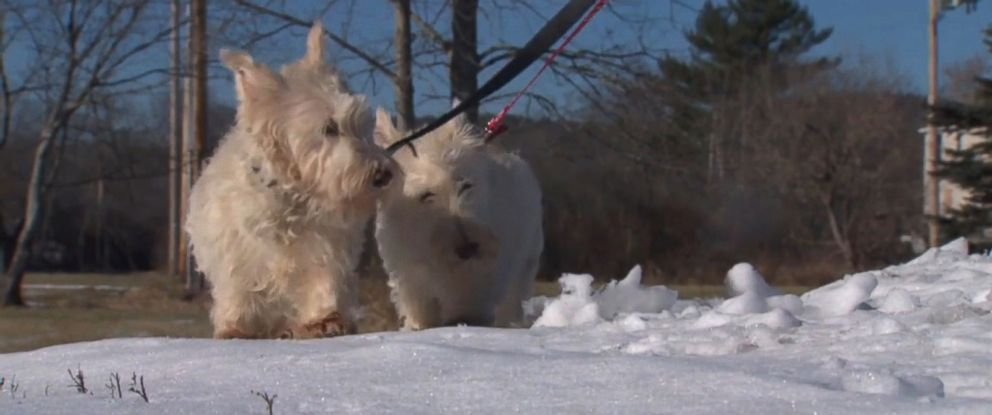 PHOTO: A white terrier dog named Jacques led police officer Chris Bisceglia to his canine best friend Annabelle, who was stranded in an embankment, on Jan. 5, 2016, according to the Orange Police Department in Orange, Massachusetts.